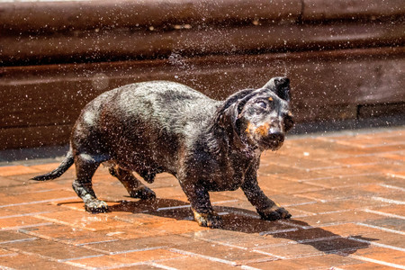 A Miniature Dachshund shaking off water from a garden hose.