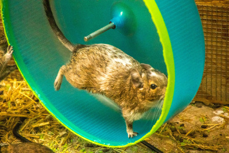 A rodent running full speed inside an exercise wheel.