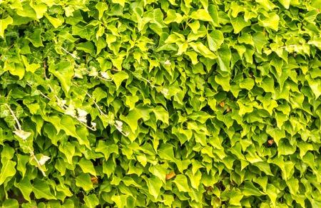 A closeup view of a vine overhang. 版權商用圖片 - 105807392