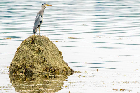 A heron out in the Scottish coastal waters.
