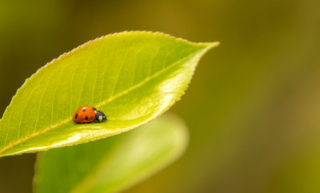 A cute, small, Ladybird adventures around the greenery of a garden.