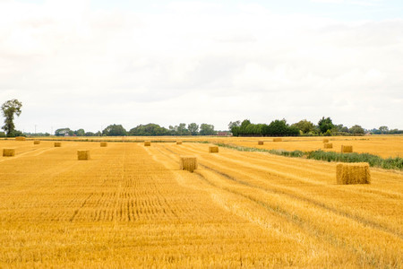 A farmers wheat field in the United Kingdom. Stock Photo