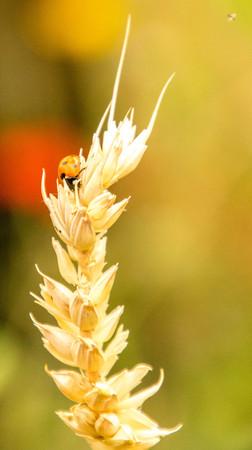 A cute, small, Ladybird adventures around the greenery of a garden.