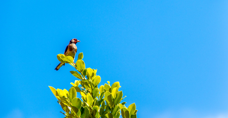 A Goldfinch bird sits high in a tree top, against a pure blue sky background.