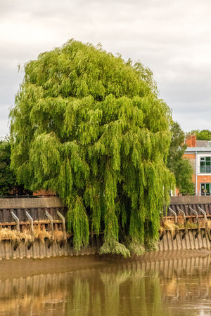 A large tree overhangs the wall of the River Trent, England, United Kingdom. 版權商用圖片
