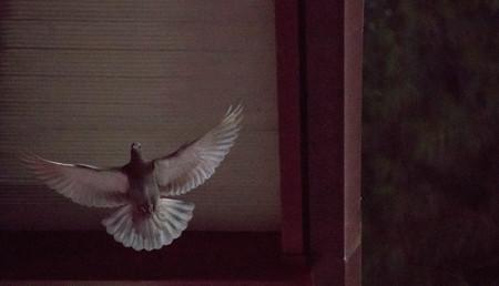 A common Pigeon, bird.