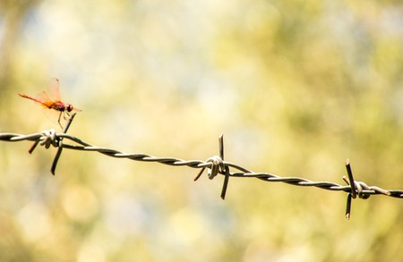 A beautiful Red Dragonfly sitting on a strip of barbed wire.