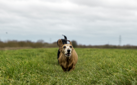 A Miniature Dachshund getting a spot of exercise. Imagens
