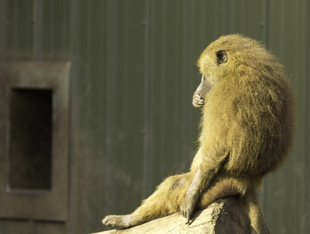 A very strong and intelligent primate, the Baboon.