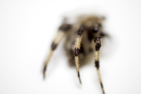 A typical spider from a UK household, against a white background.