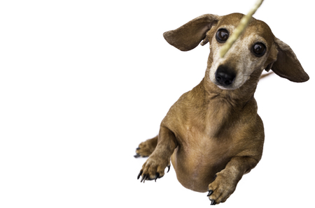 A gorgeous Miniature Dachshund dog. Shaded Red in colour, against a white background. This breed of dog becoming very popular across the world.