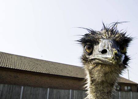 A funny looking animal, the Emu is a friendly character with a large beak. This one waiting for more treats from visitors. Stockfoto