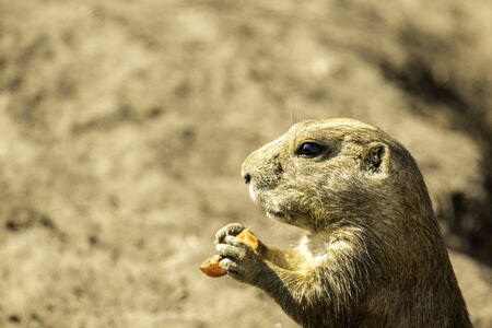 A small animal called a Prairie Dog enjoying its time within its zoo enlosure, during a sunny day.