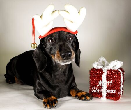 Un teckel miniature à poil lisse dans l'esprit de Noël. A côté d'un cadeau joyeux Noël.