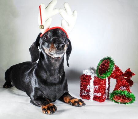 Een miniatuur gladharige teckel in de kerstsfeer. Naast een vrolijk kerstcadeau. Stockfoto