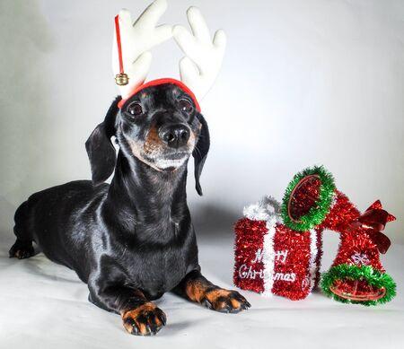 Miniaturowy jamnik gładkowłosy w świątecznym nastroju. Oprócz prezentu Wesołych Świąt. Zdjęcie Seryjne