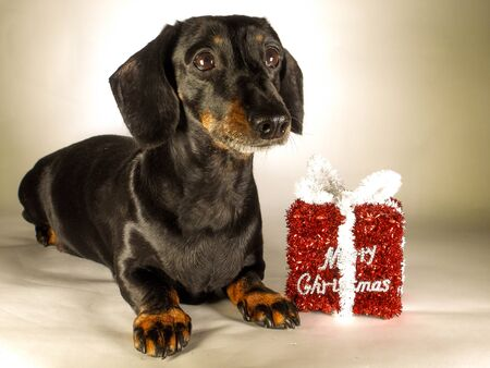 A Miniature Smooth Haired Dachshund in the Christmas Spirit. Beside a Merry Christmas gift. Stock Photo