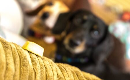 A large biscuit sits on the arm of a sofa....overlooked by a Miniature Dachshund in the background waiting to grab it.