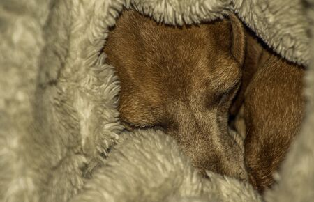 A Miniature Dachshund doing what they enjoy most, resting and sleeping.