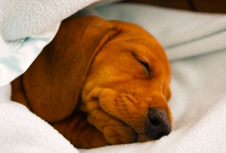 A Miniature Dachshund doing what they enjoy most, resting and sleeping. Stock Photo
