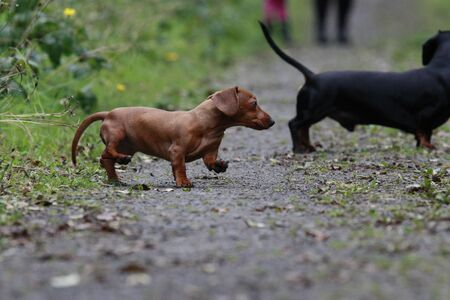 One of the worlds best loved dog breeds, the Miniature Dachshund....otherwise known as a Sausage Dog