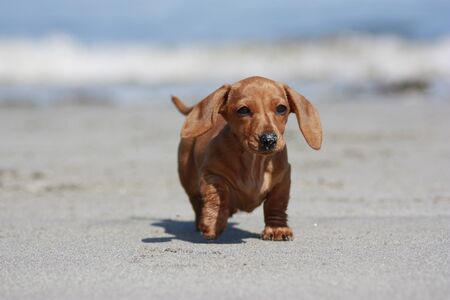 One of the world's best loved dog breeds, the Miniature Dachshund....otherwise known as a 'Sausage Dog'