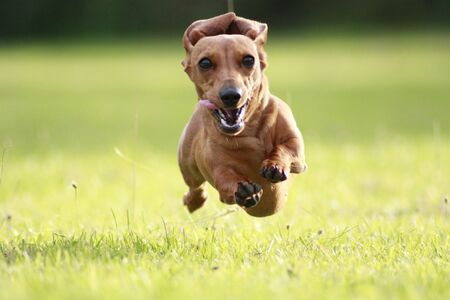 One of the world's best loved dog breeds, the Miniature Dachshund....otherwise known as a 'Sausage Dog' Imagens