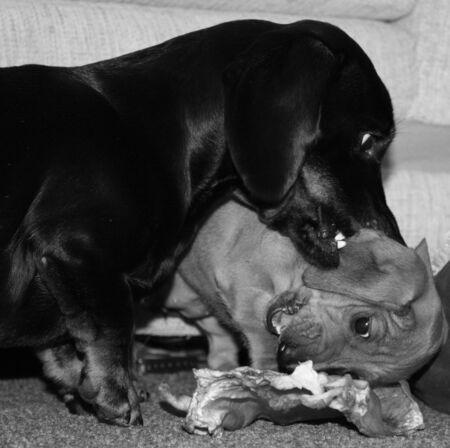 L'une des races de chiens les plus appréciées au monde, le teckel miniature.
