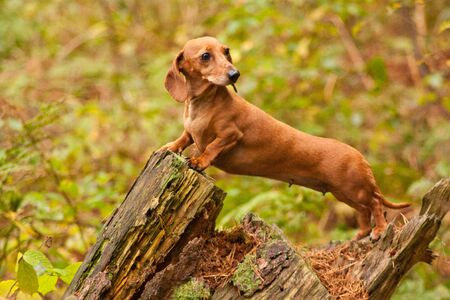 One of the world's best loved dog breeds, the Miniature Dachshund.