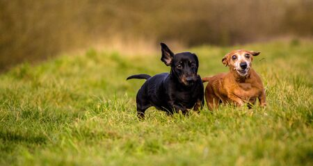 One of the world's best loved dog breeds, the Miniature Dachshund Imagens