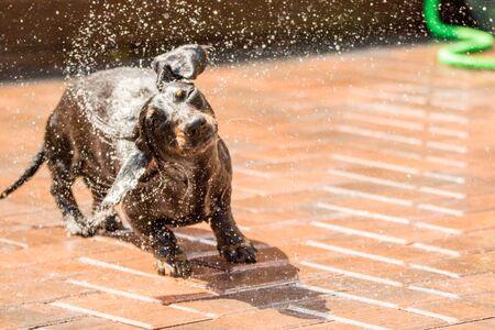 """Eine der beliebtesten Hunderassen der Welt, der Miniaturdackel ....auch bekannt als """"Wursthund"""""""