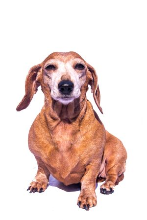 An old Miniature Dachshund in a relaxed scene, looking into the camera.