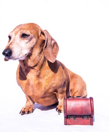 An old Miniature Dachshund in a relaxed scene, sitting beside a wooden treasure chest.