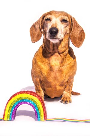 An old Miniature Dachshund beside a rainbow, against a white background. Banque d'images