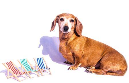Un vieux teckel miniature avec des chaises longues dans la scène, en vacances. Banque d'images