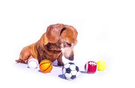 An old Miniature Dachshund sitting beside various sports balls, against a white background. 版權商用圖片