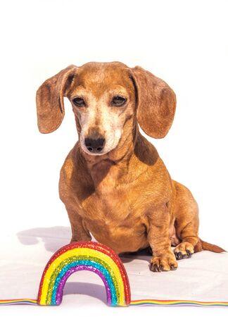 An old Miniature Dachshund beside a rainbow, against a white background.