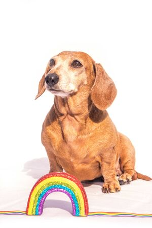 An old Miniature Dachshund beside a rainbow, against a white background. Stock Photo