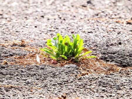 A flower that has grown through thick tarmac.