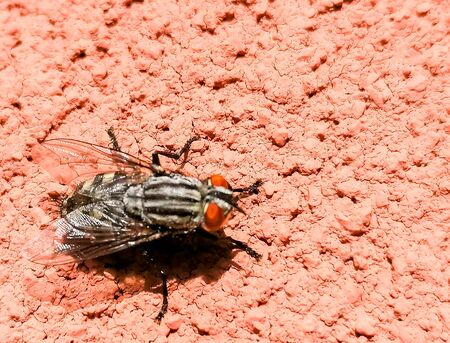 A large Flesh Fly resting on a pinkish colored wall, in the sun.