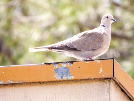 A beautiful white dove sitting on top of a house. Standard-Bild