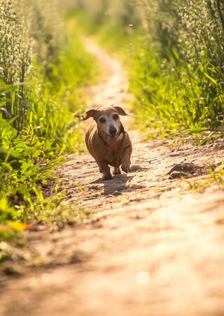 A Miniature Dachshund dog walking through the beautiful countryside of Lincolnshire, United Kingdom.