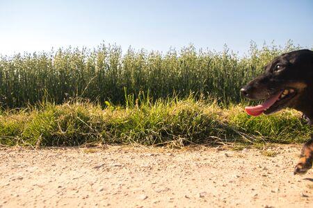 A Miniature Dachshund dog walking through the beautiful countryside of Lincolnshire, United Kingdom.
