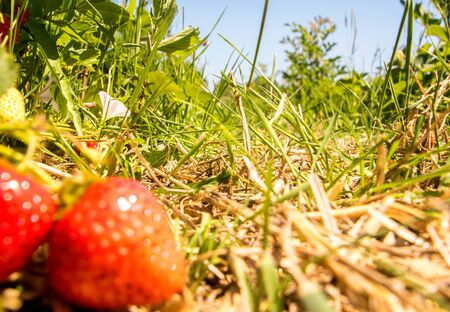 Fresh and delicious strawberries grown in a field for people to come and pick to take home, to eat.