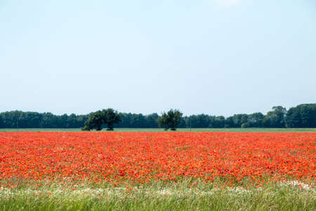 Thousands and thousands of bright red poppies cover a field in England, United Kingdom.
