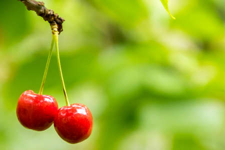 Delicious cherries grown in an orchid, in England, United Kingdom.