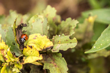 A lonely ladybird seen closeup found out in the countryside of the United Kingdom.
