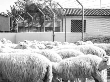 A flock of sheep being escorted along a main road, by a farmer, which have stopped in the middle of the road to play and do the toilet. Blocking all traffic until they move out of the way. Imagens