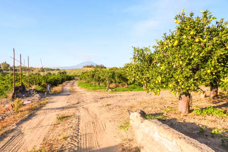 Freshly grown oranges in the orchards of Sicily, Italy. These fresh citrus fruits are sent all around the world to be enjoyed by people everywhere.