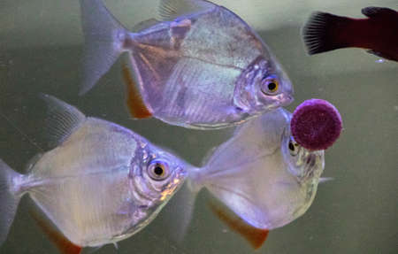 One of the popular and hardy breed of tropical fish, called a Silver Dollar. These are plain in color and without any pattern(s) on the sides.